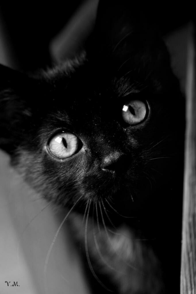 Best Black Cat Magic Images On Pinterest Black Cats Kitty - This photographer is celebrating stray cats through majestic portrait photographs