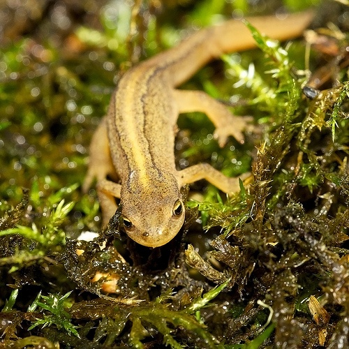 1000+ images about UK Amphibians on Pinterest | Smooth ...