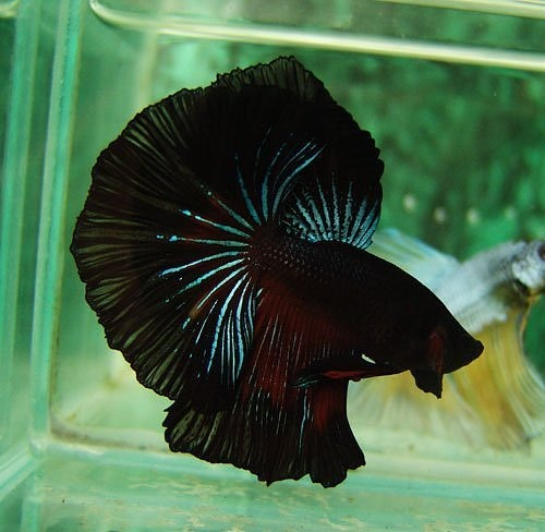 Black devil- I had a Red betta like this once, until my ex-husband put him in the same tank as a cichlid!