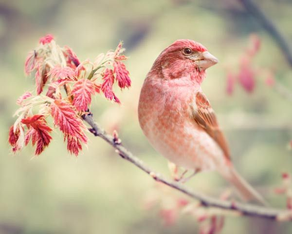 "Fine Art Bird Photography Print ""Purple Finch No. 1"" from Rocky Top Studio"