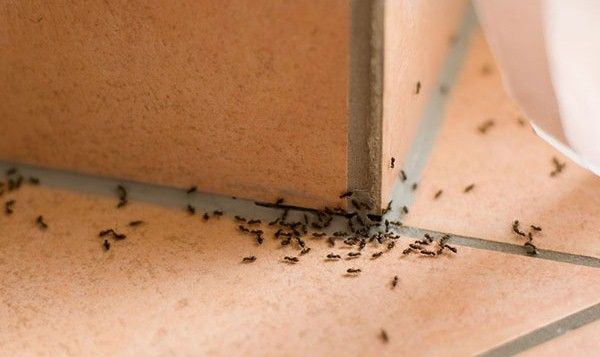 How to get rid of ants in the house? Home remedies for ants. How to remove ants from the house fast and naturally? Ways to kill ants. Stop ants infestation.