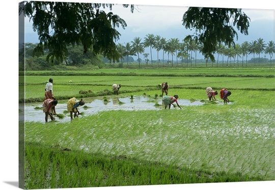 Workers in the rice fields near Madurai, Tamil Nadu state, India ...