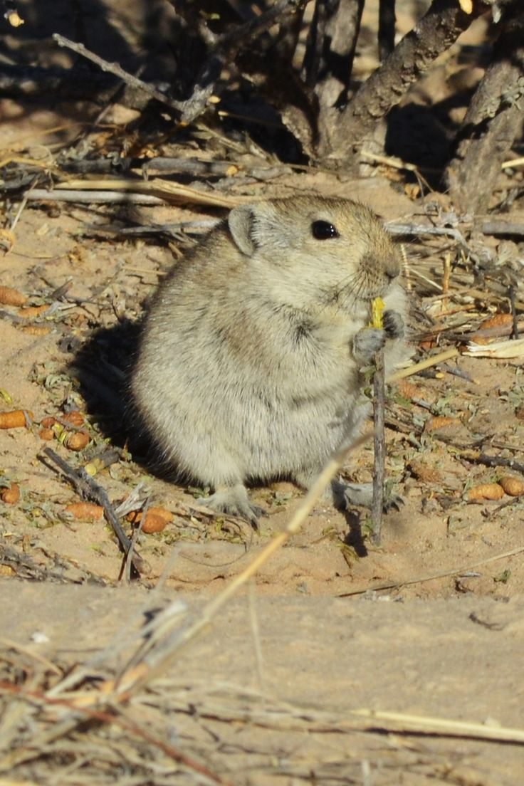 Cute little mouse seen in the Kgalagadi park. In the morning they come out to sun themselves in quite some numbers.