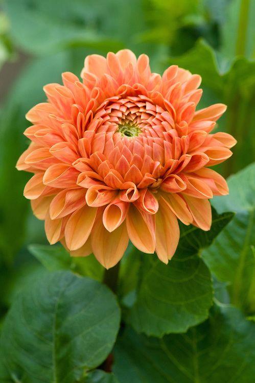 Dahlia 'Charlie Briggs'. Deze plant is geschikt voor de ondersteuning door de Solitairpin van www.detuinfee.nl. Verkrijgbaar in 4 hoogtes.
