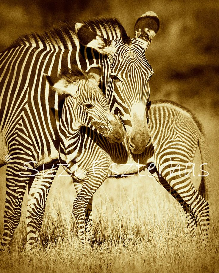 Baby Zebra And Mom Photo Vintage Sepia Print Mom And