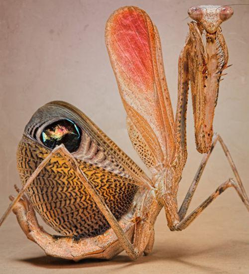 praying mantis looks like a dancer