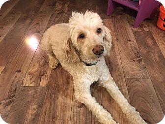 Short Hills, NJ - Labradoodle/Miniature Poodle Mix. Meet Zoey, a dog for adoption. http://www.adoptapet.com/pet/17019363-short-hills-new-jersey-labradoodle-mix