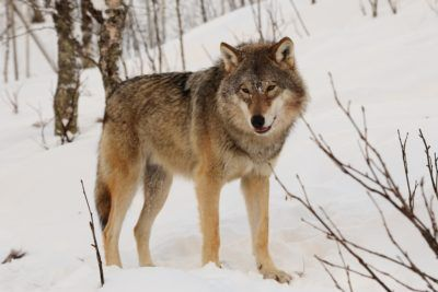 Endangered wolves are being legally hunted in Finland, despite there being very few wolves in the country. Demand these hunts stop immediately.