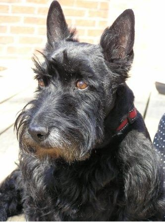 A very handsome Mac: A 10-year-old rescue Scottish Terrier