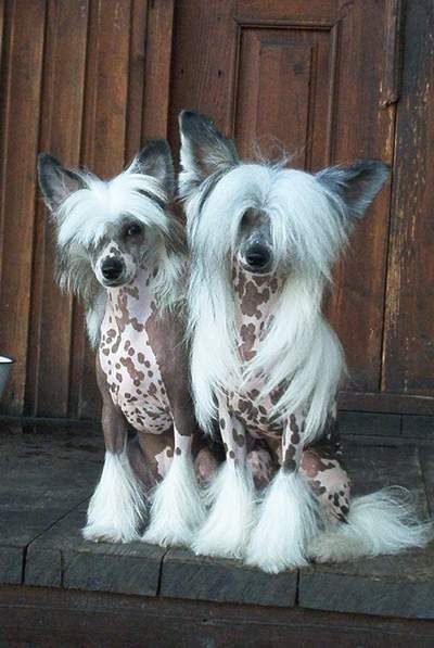 I love this breed! Mine have more hair but I think they're beautiful!