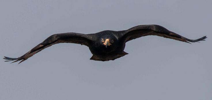 - http://birdwatcher.co.za/verreauxs-eagle-witkruisarend-aquila-verreauxii-magaliesberg-mountains-gauteng-south-africa/… #BirdwatcherSA #birdingsouthafrica #birdingphoto #birdingphotos #birdssouthafrica ...