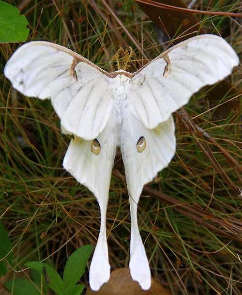 Beautiful, I know they are moths but I still think of them as butterflies