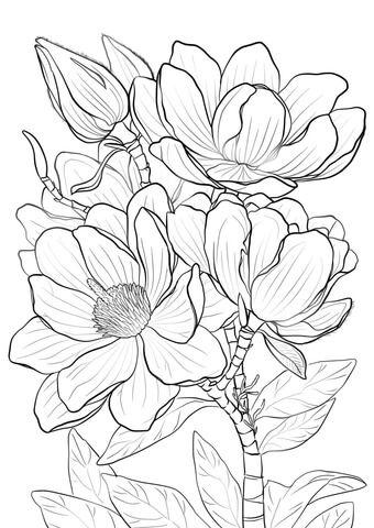 Magnolia de Campbell Dibujo para colorear