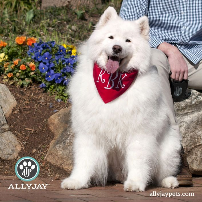 525 best images about samoyeds on pinterest