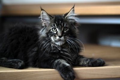 European Maine Coon Cats = Mountain Fork Maine Coon FeLIONS