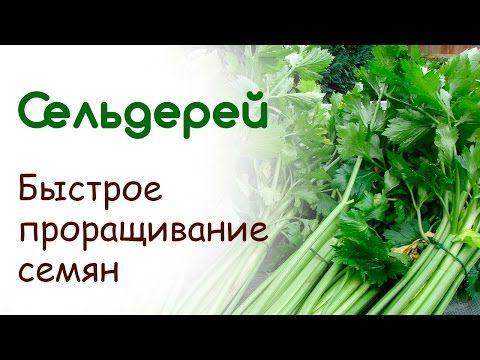 Пикируем корневой сельдерей. Быстрое проращивание семян за 5 дней - YouTube