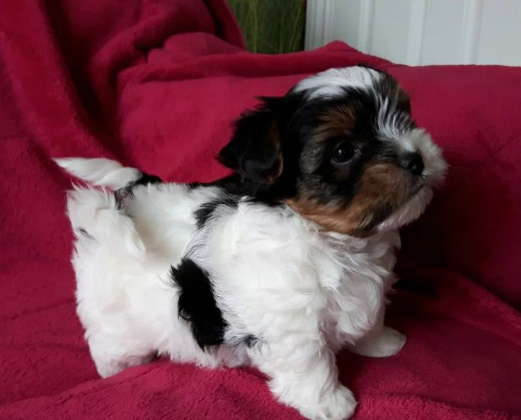 teacup yorkie for sale near me 25 best ideas about yorkie puppies for sale on pinterest 2537