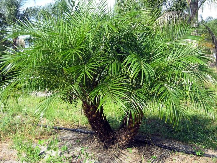Pygmy date palm tori amos datura pinterest