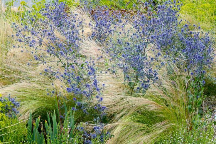 In Windrichtung legt sich das Zarte Federgras (Stipa tenuissima) zwischen die verzweigten Blütenstände der Edeldistel