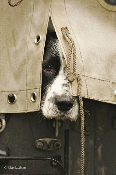 ♔ Sporting hound peeping through canvas.