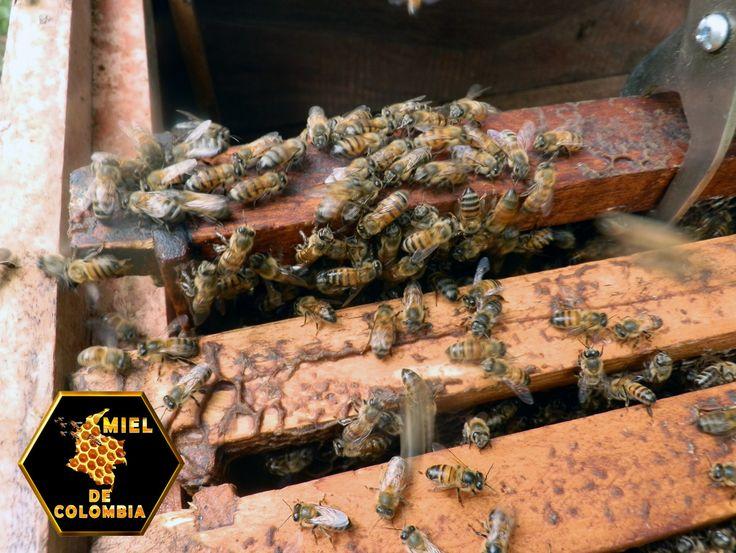 """¿Sabías que...?  """"La labor de las abejas es uno de los principales ejemplos de trabajo colectivo en  el reino animal, en cuya sociedad, cada casta (reina, obreras, zánganos) cumple  una función, teniendo como resultado la rica miel."""" La Presentación de nuestra miel es de medio kilo pedidos: 3012020777 - 3117402833  ventas@mieldecolombia.com www.mieldecolombia.com"""
