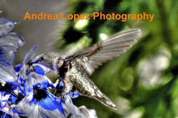 Hummingbird+on+Blue+Delphinium+Flower+HDR+8+x+10+by+FlowerFelicity,+$20.00
