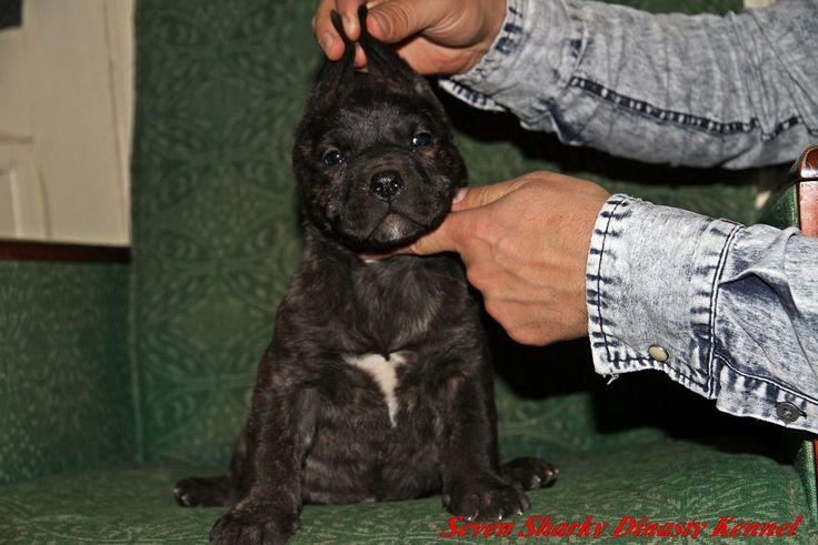 DOGO CANARIO FOR SALE WHATAPP +40760543706
