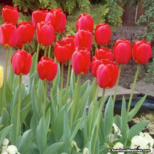 Darwin Tulip Bulbs Red Oxford