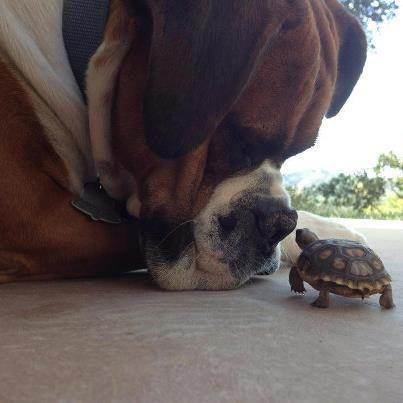Boxer & Turtle