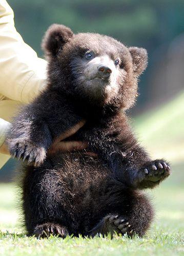 baby baby: Animal Baby, Teddy Bears, Bears Cubs, Baby Baby, Baby Animal, Adorable, Brown Bears, Bear Cubs, Baby Bears