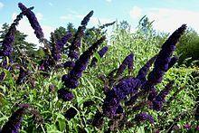 """Buddleja (Butterfly Bush) Davidii """"Black Knight"""""""