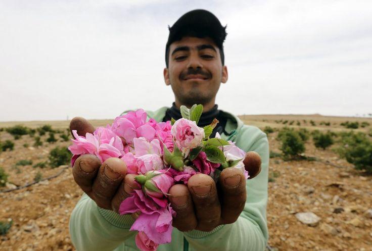 E' uno dei fiori più antichi della storia, conosciuto per la sua bellezza e le sue virtù terapeutiche. Ma la rosa di Damasco, o rosa