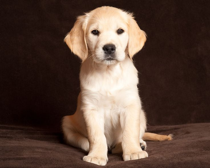 ♥ Blonde Lab Puppy