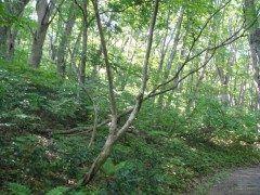 青森県鰺ヶ沢町の白神の森  屋久島鹿児島県とならんで日本で初めてユネスコ世界遺産自然遺産に登録された白神山地 人の影響をほとんど受けていないブナの原生林は美しく世界最大級の規模で分布しています  白神山系に抱かれた鰺ヶ沢町黒森地区の森にあるトレッキングコース白神の森遊山道がおすすめです  tags[青森県]