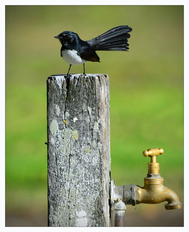 Willy Wagtail - Very chirpy and excited, Willy can be seen right across the Inner North.