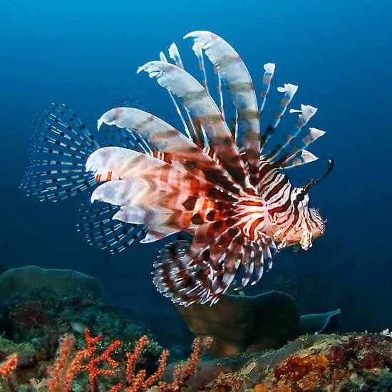 Pez León (Lionfish) - Pterois antennata. Su hábitat natural son los lagoon y arrecifes del Océano Índico tropical y el Pacífico occidental. [Wikipedia]
