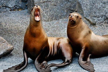 Steller Sea Lions - Mystic Aquarium