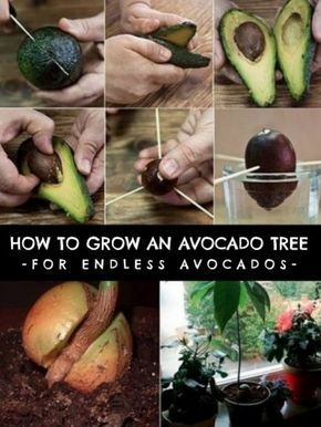 How To Grow An Avocado Tree For Endless Organic Avocados --Posted March 14, 2015 By HomesteadSurvival