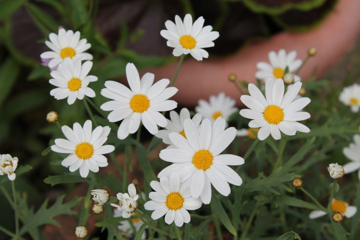 Leucanthemum (Daisy)