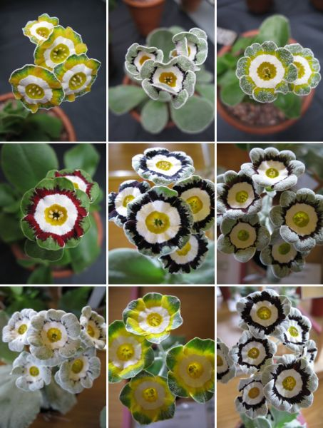 Auriculas History. Auriculas in the UK
