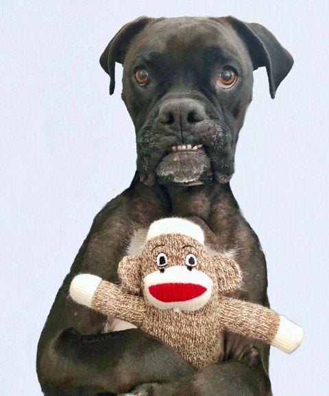 petqwerks.com Whaddaya mean your monkey? This is mine.  Photo by @marlowandmaci
