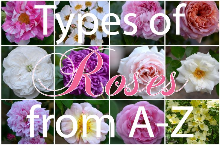 Post image for Types of Roses A wonderful article on the many types of roses. Wow! Never knew there were so many!