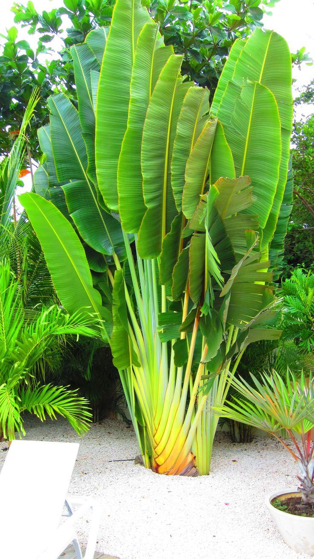 Today's Re-pin 11 juli 2012: Bananaplant Repin van @Claartje Visser: Claartje Visser, Outdoor Living, Today S Repin, Repin Van, Fruit Plants, Bananaplant Repin