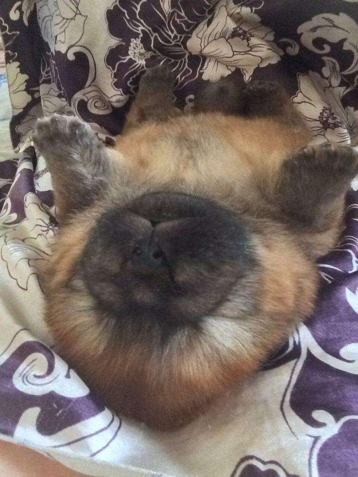 Щенки чау-чау puppy chow-chow