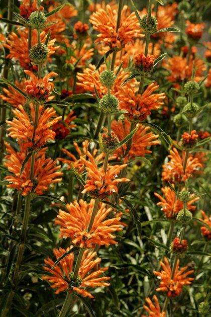 Lion's tail is a South African plant that needs little water and blooms with…