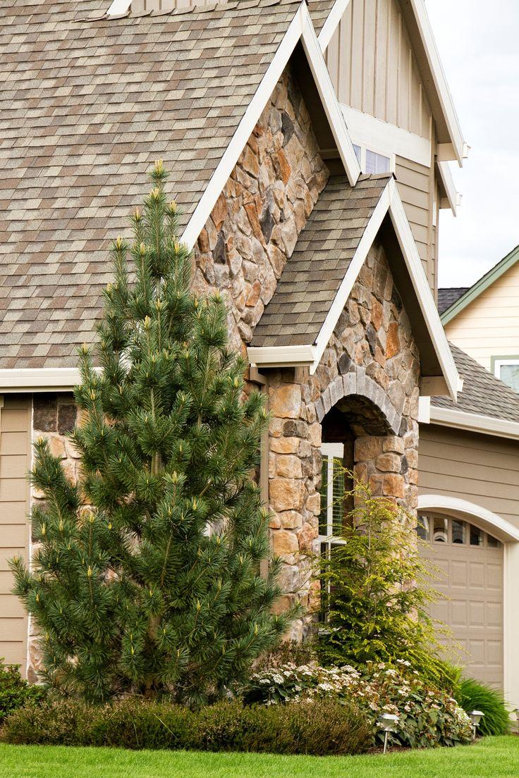 Vanderwolf S Pyramid Limber Pine Pinus Flexilis Very