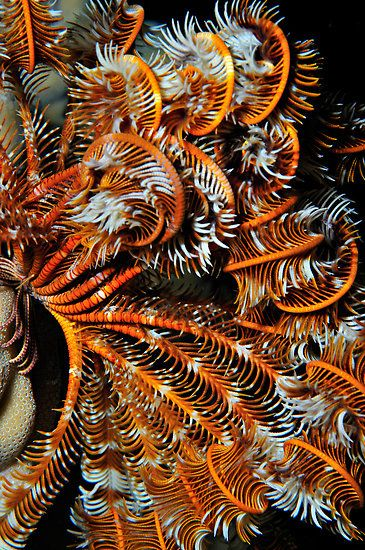 Feather star - Crinoid - a sedentary relative of starfish, sea cucumbers, brittle stars, and sea urchins