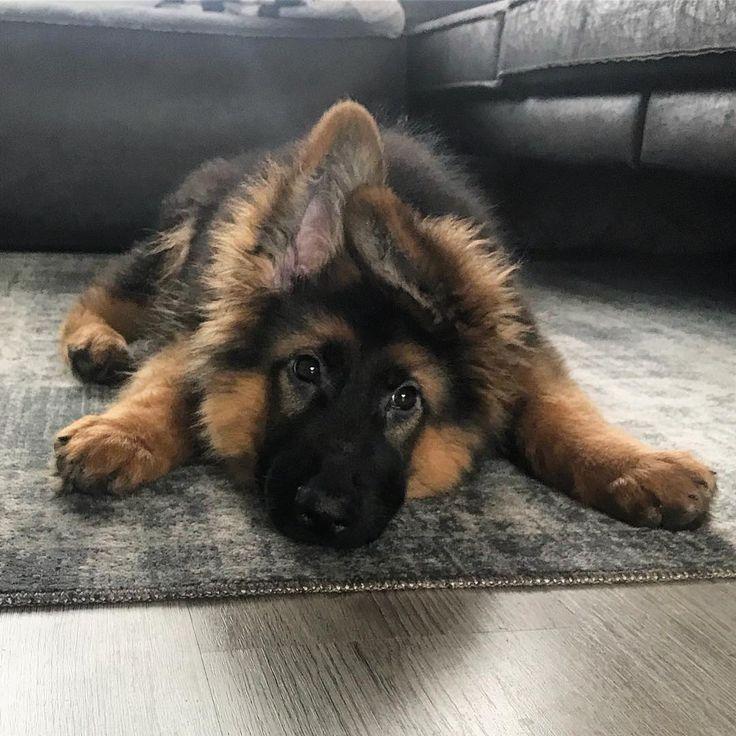 Cute German Shepherd Puppy With Funny Ears German Shepherd