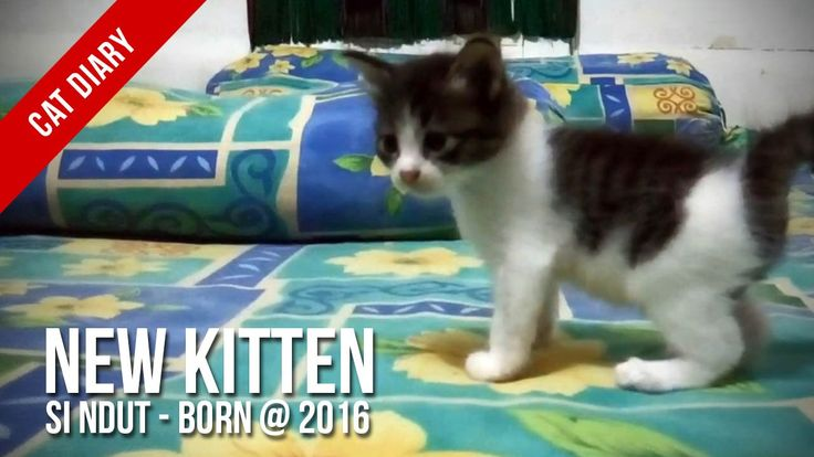 [Cat Diary] : Ndut, My New Kitten