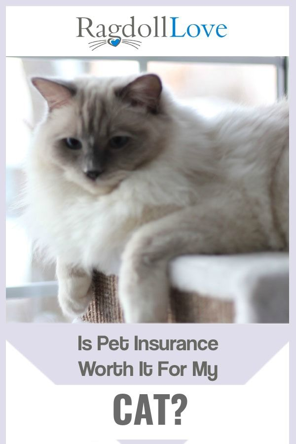 Pet Insurance For My Ragdoll Cat Is It Worth Having Cats Pet Insurance Reviews Cat Care Tips